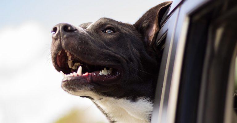 Cómo llevar al perro en el coche 🐶 Guía 2020